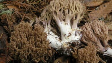 Photo of Ramaria fennica