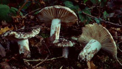 Photo of Russula nigricans