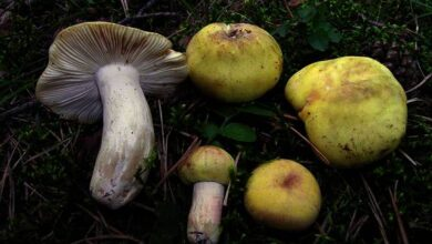 Photo of Russula violeipes