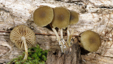 Photo of Simocybe centuncolo