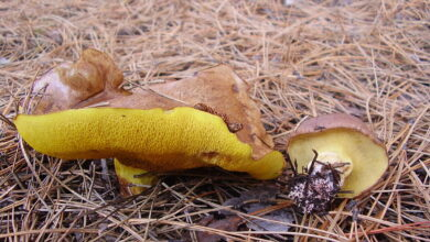 Photo of Suillus collinitus
