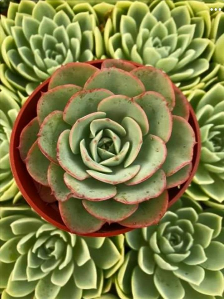 Cura succulenta
