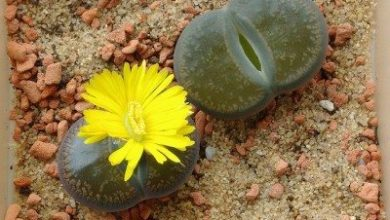 Photo of Lithops o pietra di cactus.