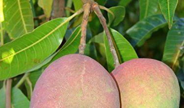 Photo of Cura del mango: [terra, umidità, potatura e problemi]