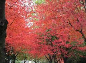 Photo of Acero rosso: [colture, associazioni, parassiti e malattie]