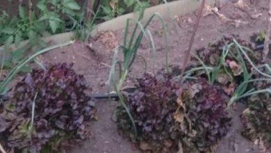 Photo of Associazioni di colture buone e cattive in giardino: esempi