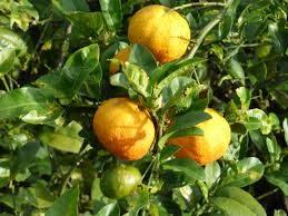 Photo of Piantare un albero di mandarino: [raccolto, cura, parassiti e malattie]
