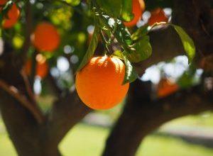 Photo of Irrigazione degli alberi da frutto: [Necessità, frequenza e procedura]