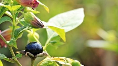 Photo of Belladonna: pianta medicinale con usi terapeutici che può essere velenosa
