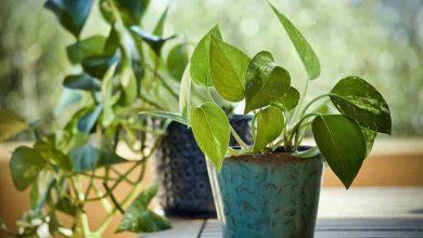 Photo of Come piantare le patate in casa: [Suggerimenti e guida completa]