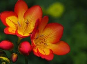 Photo of Fresia: [Semina, cura, irrigazione, substrato, fioritura e altro]