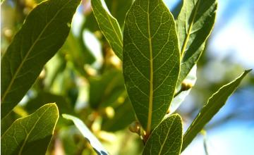 Photo of Come coltivare l'alloro nel tuo frutteto o giardino