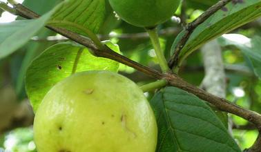 Photo of Guava: proprietà e benefici di questo frutto tropicale