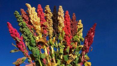 Photo of Quinoa o Quinoa: come usarla nelle ricette e le sue proprietà e benefici