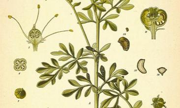 Photo of Ruta: una pianta medicinale per vene varicose, infiammazione o mal di testa e dolori muscolari