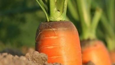 Photo of Malattie della carota: guida completa con immagini